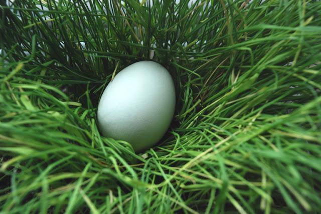 Blue araucana egg