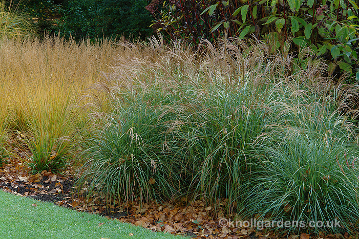 Knoll gardens blog a new ornamental grass for Long ornamental grass