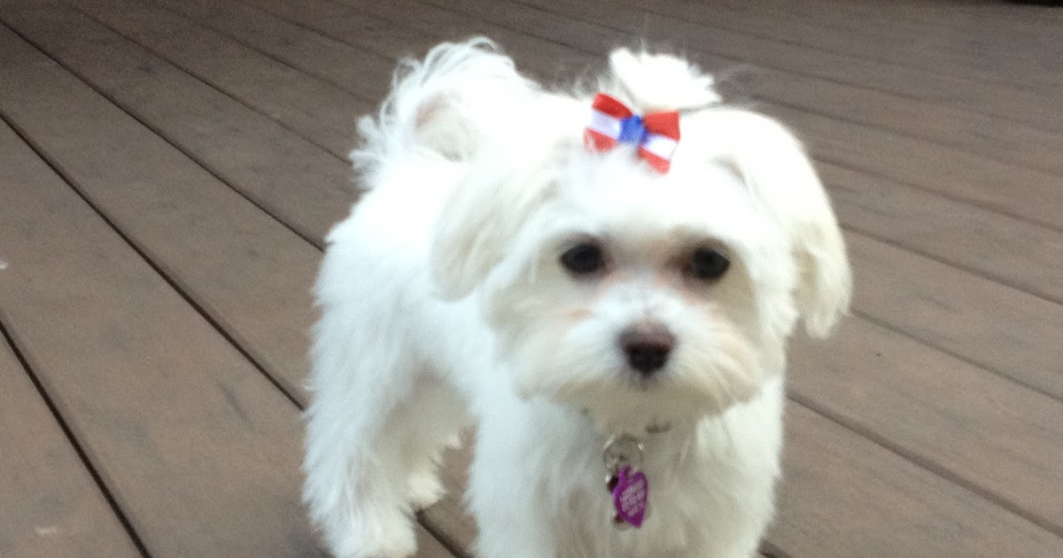 Dog Wallpaper Maltese Haircut Styles Wallpaper 1080p