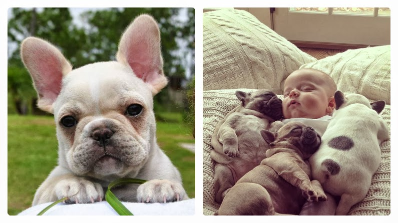 Free french bulldog puppies maryland