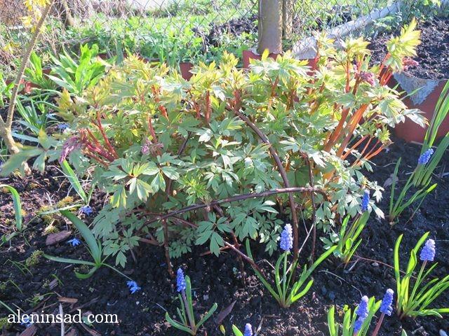 дицентра, великолепная, разбитое сердце, Lamprocapnos spectabilis, цветы, опора, для цветов, многолетников, растений, лоза, прутики, цветы сердечком