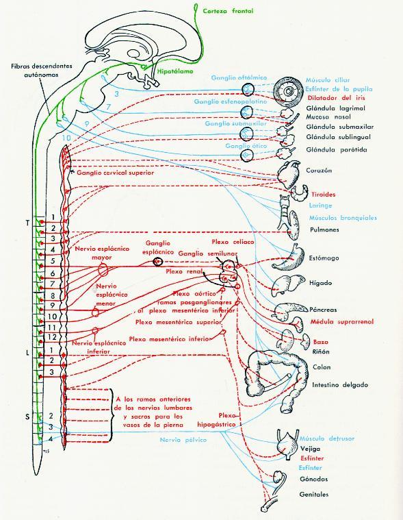 Principios de Medicina: Resumen de Nervios Espinales