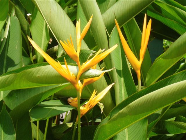 bunga sapit udang  exotic plants in indonesia, Beautiful flower
