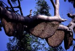 Pohon Bagris banyak sarang madunya