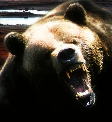 Urso rosnando