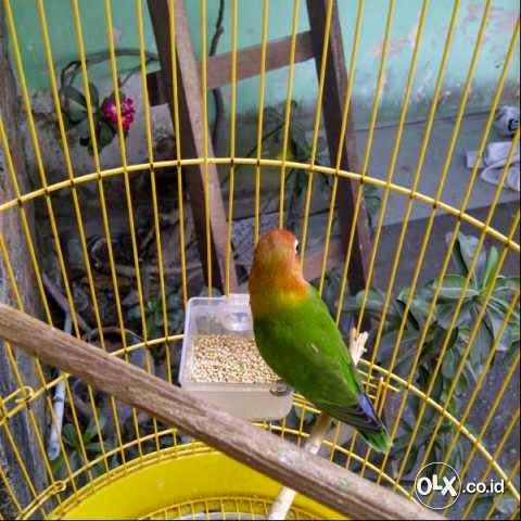 jual love bird josan anakan istimewa harga nego burung 9