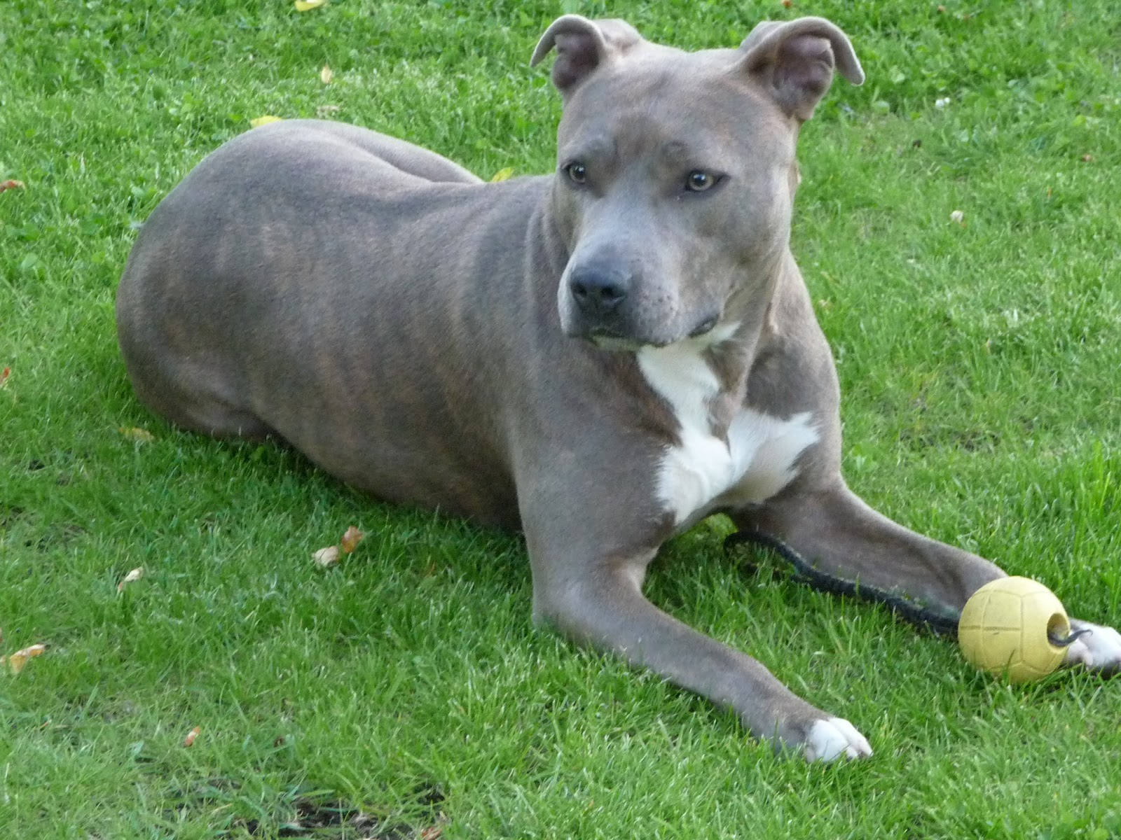 Such Good Dogs: Breed of the Month--American Staffordshire