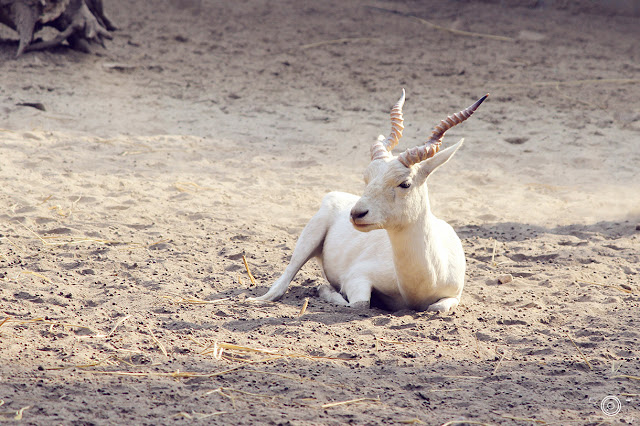 White Buck By Shashank Mittal Photography, White Buck, Shashank Mittal Photography, Shashank Mittal, Photography, Shashank, Mittal,