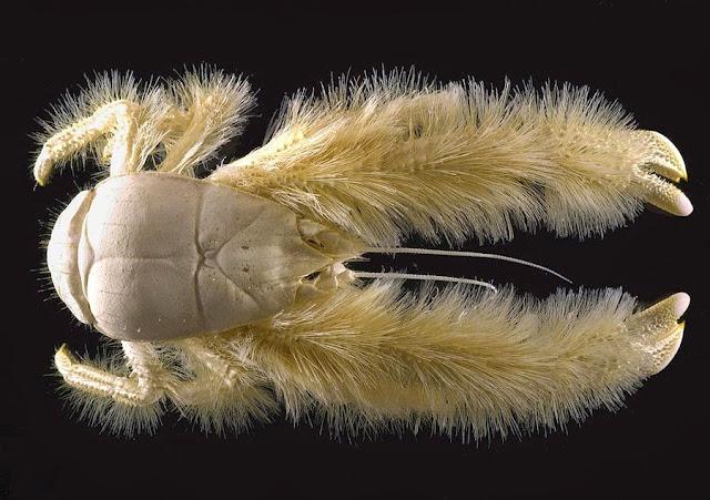 Cangrejo yeti, animales desconocidos