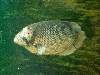 Cara Ternak Ikan Gurame Di Kolam Terpal dan Beton