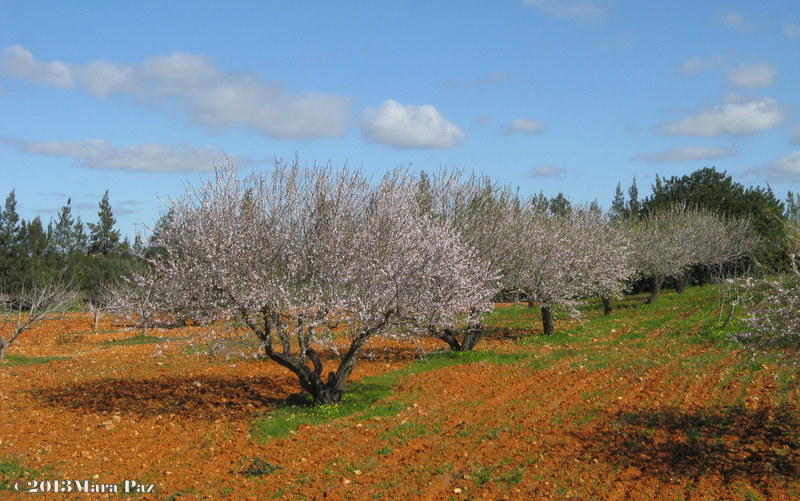 Blossoming Almond trees - Algarve