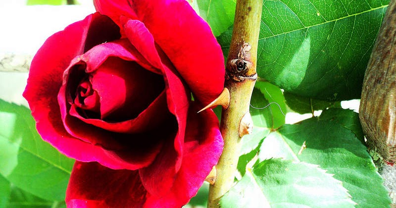 """why roses have thorns Every rose has it's prickle not quite the phrase we are used to hearing, but  actually roses don't have thorns at all just saying the word """"rose""""."""