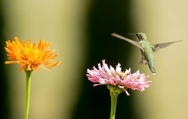 The flight of Hummingbird landing on the flowery airport