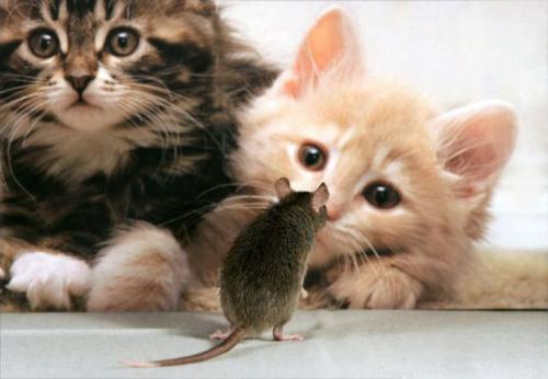 39 Skąd Się Wzięło Powiedzenie Bawi Się Jak Kot Myszą Kot Jak Pies