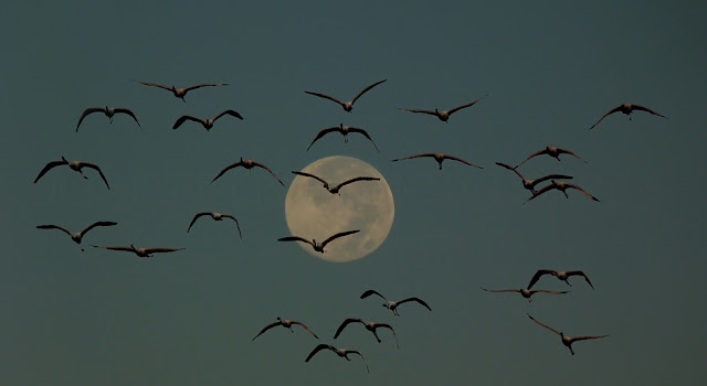 grupo de flamencos en migracion nocturna