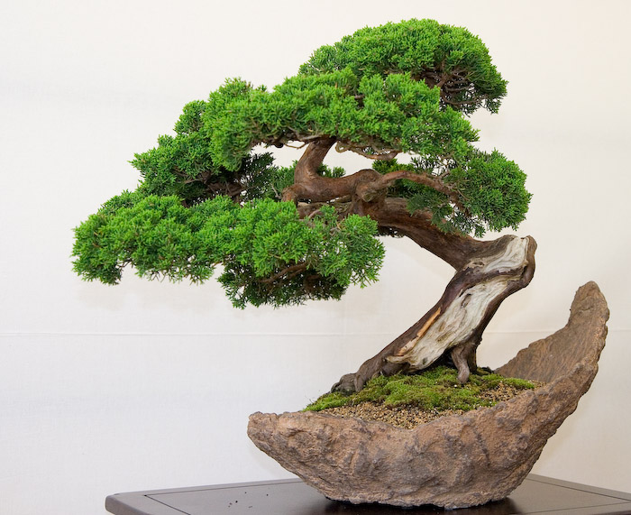 El rinc n del aikido bonsai for Como cultivar bonsais