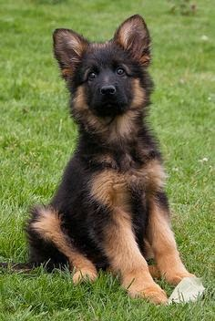 German Shepherd Puppy rest in garden