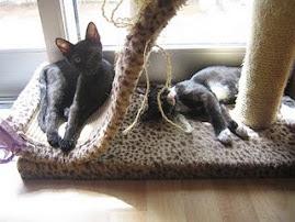 Felinos para Adopção