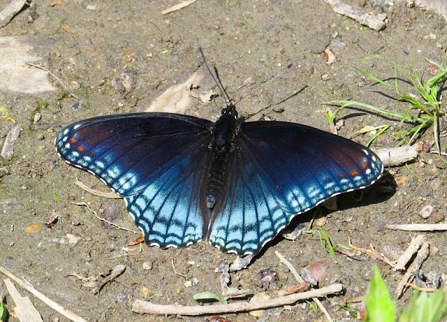 Red-spotted Purple Butterfly - Prospect Park, New York