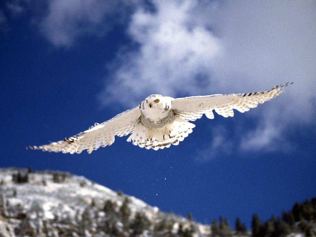 http://3.bp.blogspot.com/-gmqAtFBfD1M/T0R-PeyC0tI/AAAAAAAAIBQ/yKeox8PaixQ/s1600/Snow-Owl-Wallpaper2.jpg