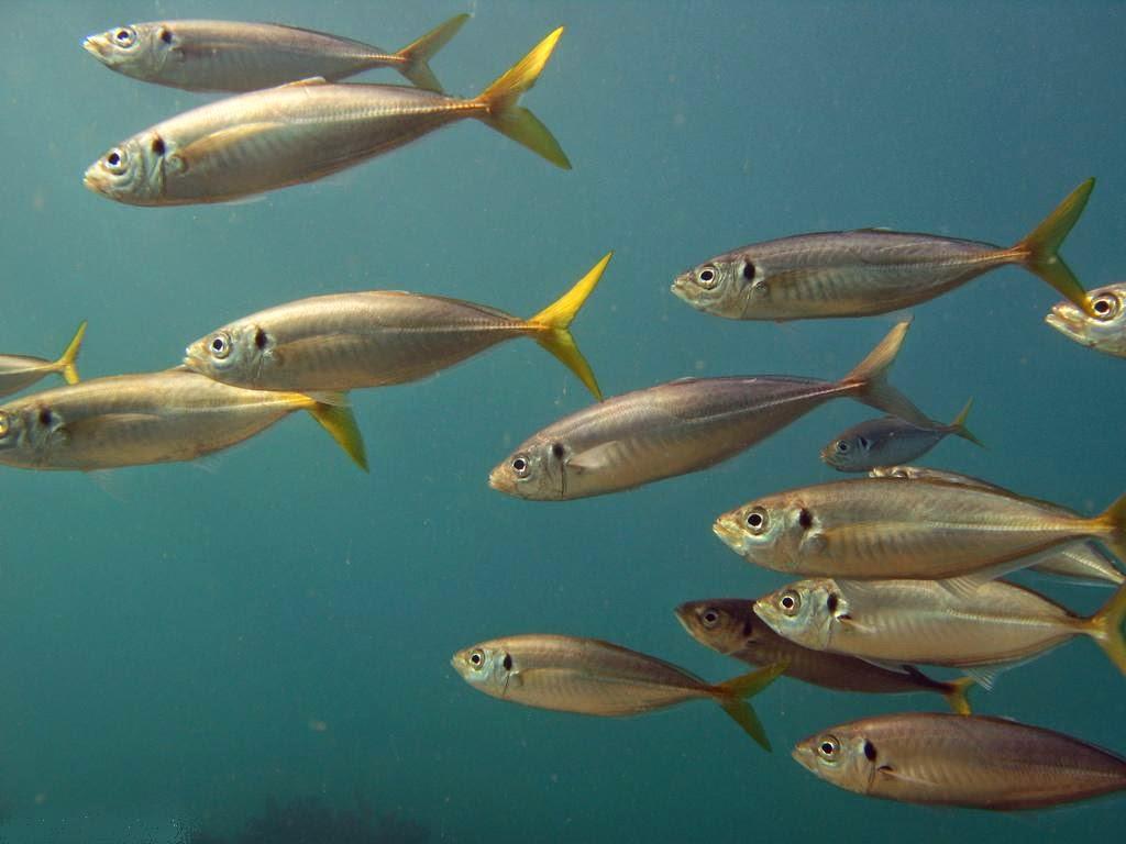 Artes de Pesca: LOS CARANGIDAE
