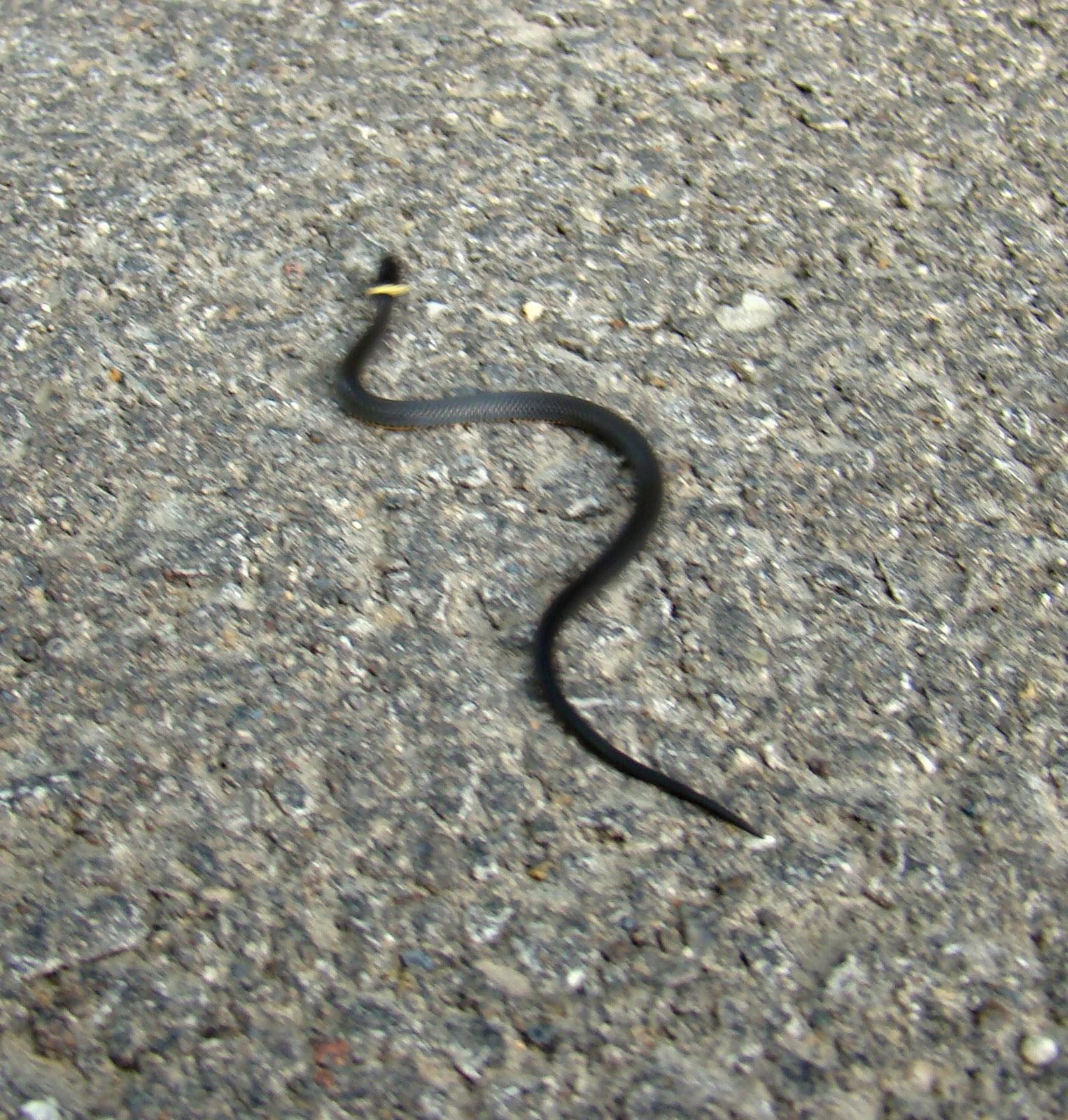 rurification ring neck snake