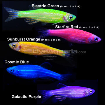 Glofish - photo#28