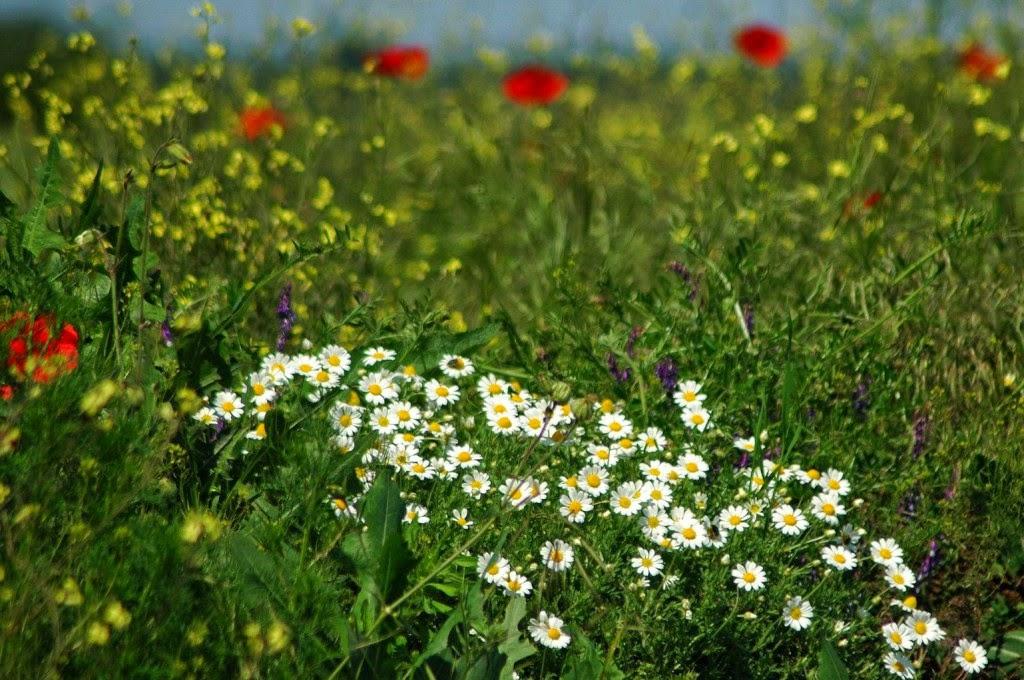 természet, virágok, vadvirágok, tavasz, parlagi pipitér
