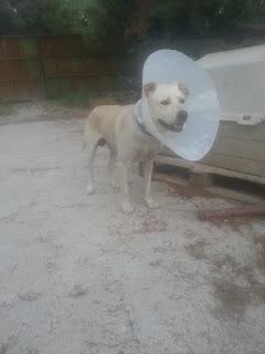 Ο αρσενικός σκύλος της φωτογραφίας εμφανίστηκε στην περιοχή των Απομάχων στη Νέα Φιλαδέλφεια. Τον αναζητά κάποιος?