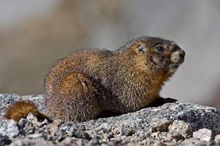 marmota de vientre amarillo Marmota flaviventris