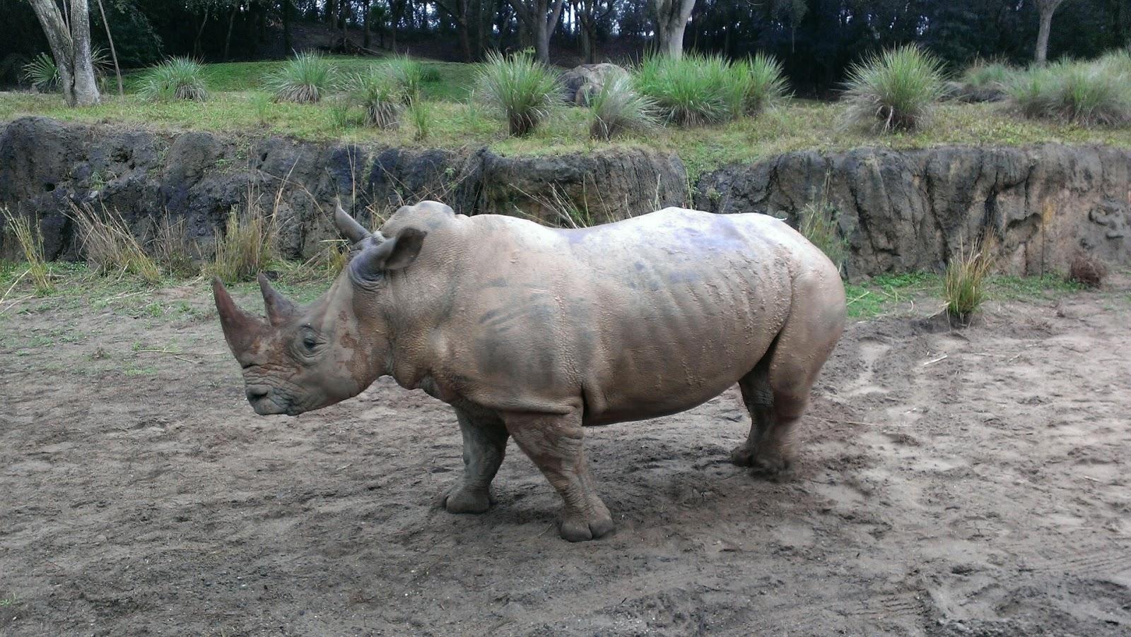 rhino walking in the mud