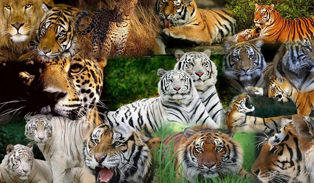 Dünyanın En Büyük Kedi Resimleri
