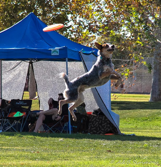 Flying High Toss and Fetch Disc Dog action in State Tournament