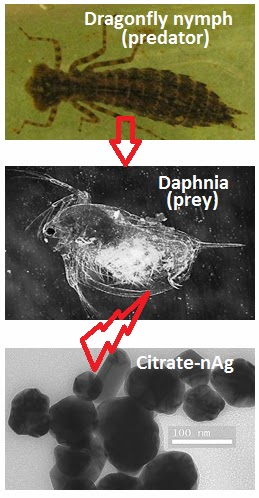 the phototactic behavior of daphnia magna Ignace, d, s dodson, d kashian 2011 identification of the critical timing of sex determination in daphnia magna (crustacea, branchiopoda) for use in toxicological.
