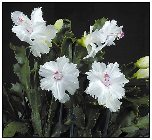 Growing with plants: How to get a Christmas Cactus to bloom on time