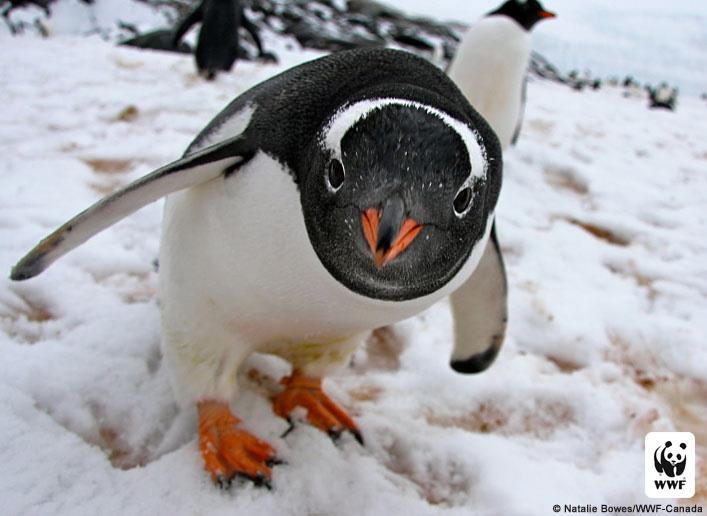 Gentoo Penguin jjbjorkman.blogspot.com