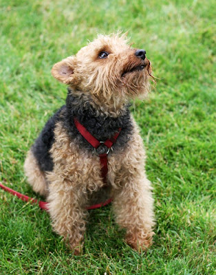 Welsh Terrier Puppy Pictures