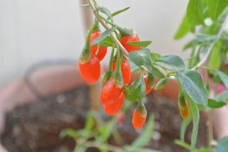 Goji Berry para que serve