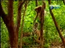 kera dan harimau