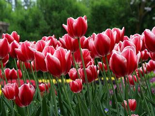 tulipan hermoso