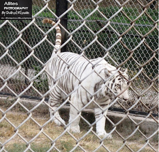 White tiger in Pakistan, Nature Photography by Shahzil Rizwan