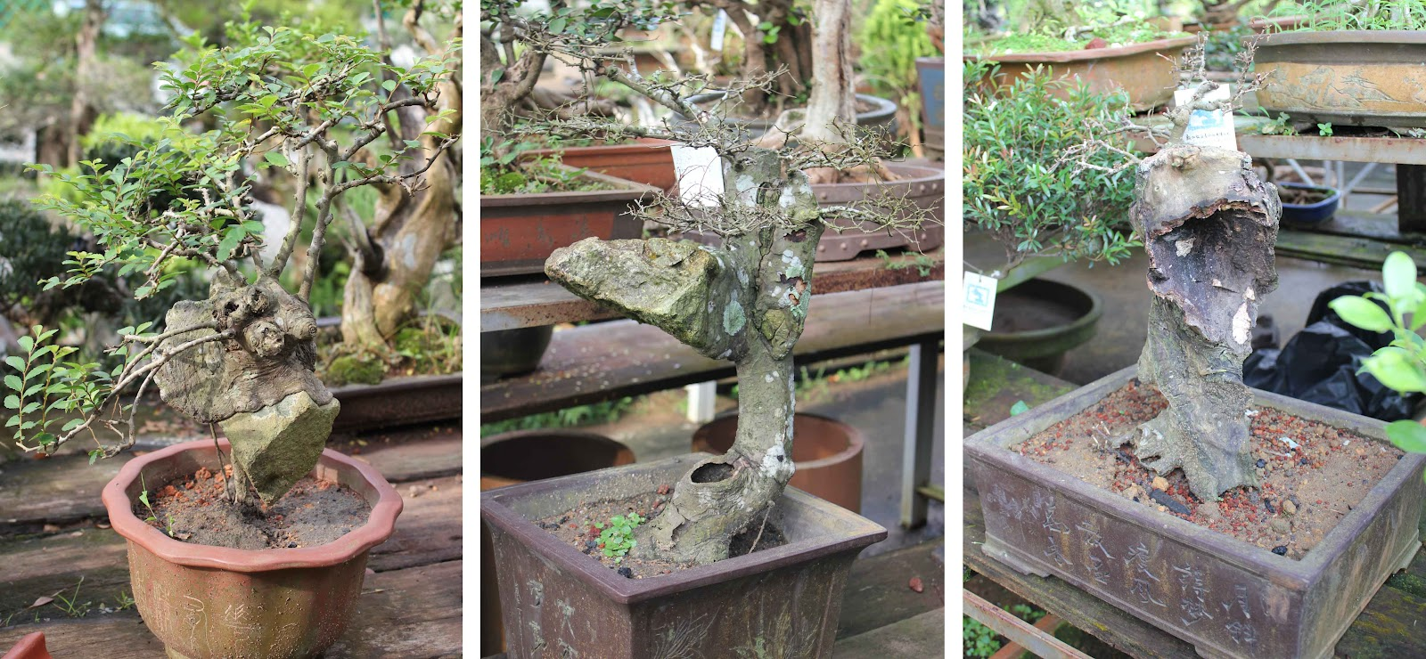 Kigawa39s Bonsai Blog Bonsai Gallery Singapore