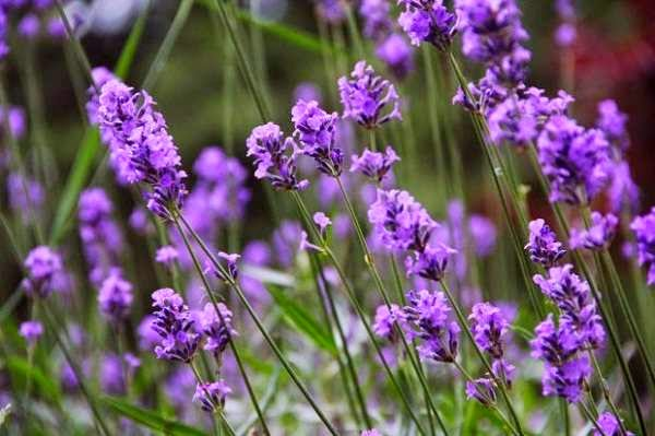 Lavender that Repell Mosquitoes