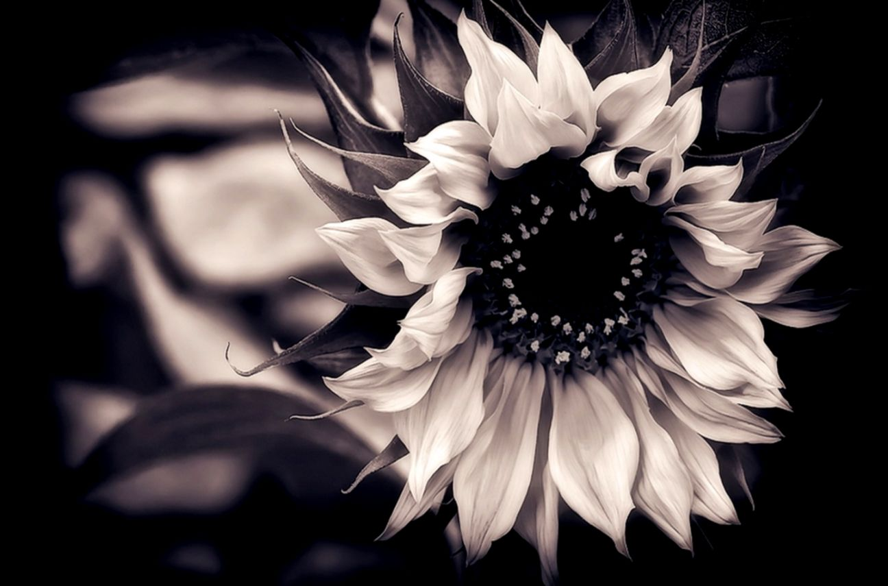 Flowers Black And White With Color Cool Wallpapers Hd Wallpapers