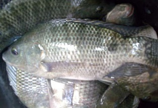 cara budidaya ikan nila di keramba apung