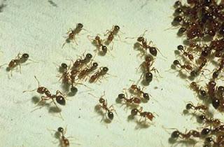Mật ong thật kiến có bu không?