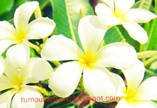 Puisi bunga kamboja