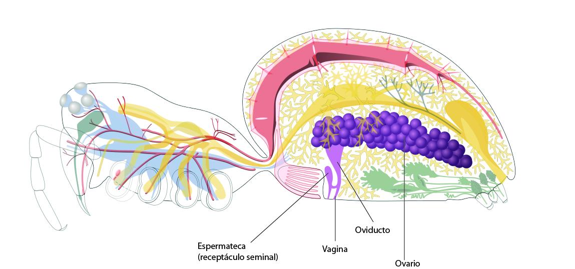 Encantador Anatomía De Una Araña Nop Embellecimiento - Imágenes de ...
