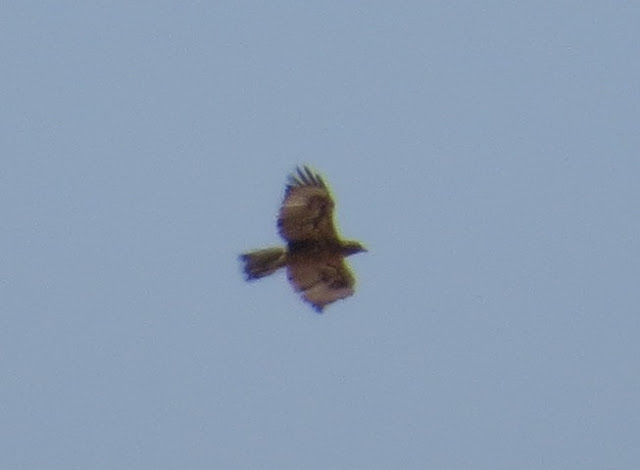 Gibraltar Buzzard - Spain
