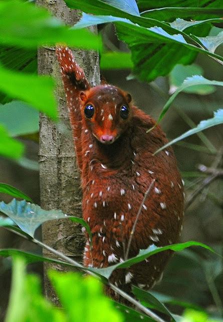 sonda lemur volador, animales desconocidos